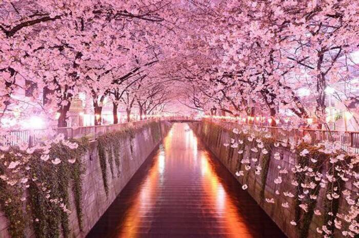 [Image: Cherry-BLossoms.jpg]